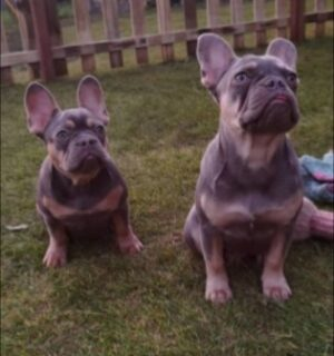 French Bulldog Puppies For Sale in Michigan