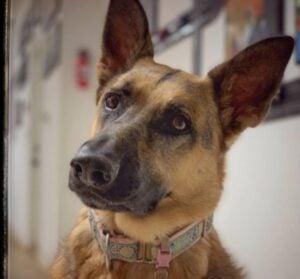 German Shepherd Puppies For Sale in Michigan