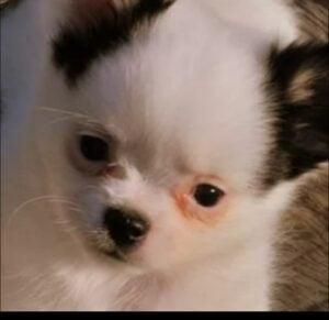 Happy Little Chihuahuas of Minnesota