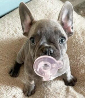 Here's What You Need to Know About The French Bulldog