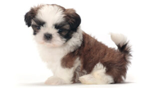 """Conclusion For The """"Best Shih Tzu Breeders in New Jersey"""""""