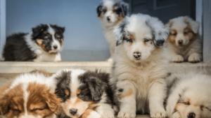 How to Find the Right Australian Shepherd Breeder