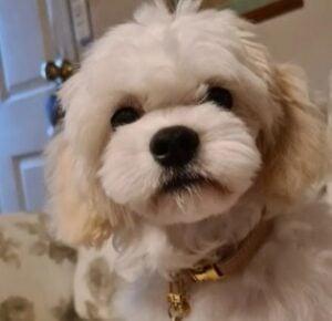 Introducing the Maltipoo Dog Breed