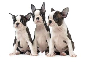 K&B Boston Terriers