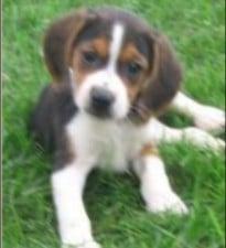 Lakeside Puppies Beagles