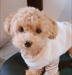 Maltipoo Puppies For Sale in South Carolina