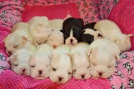 Michigan Boston Terriers