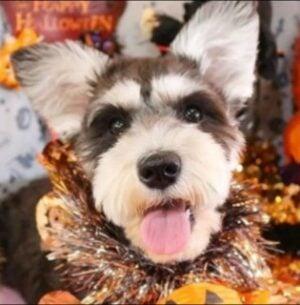 Miniature Schnauzer Puppies For Sale in Florida