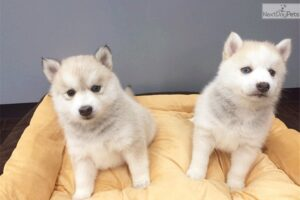 Pomsky Puppies For Sale in New York
