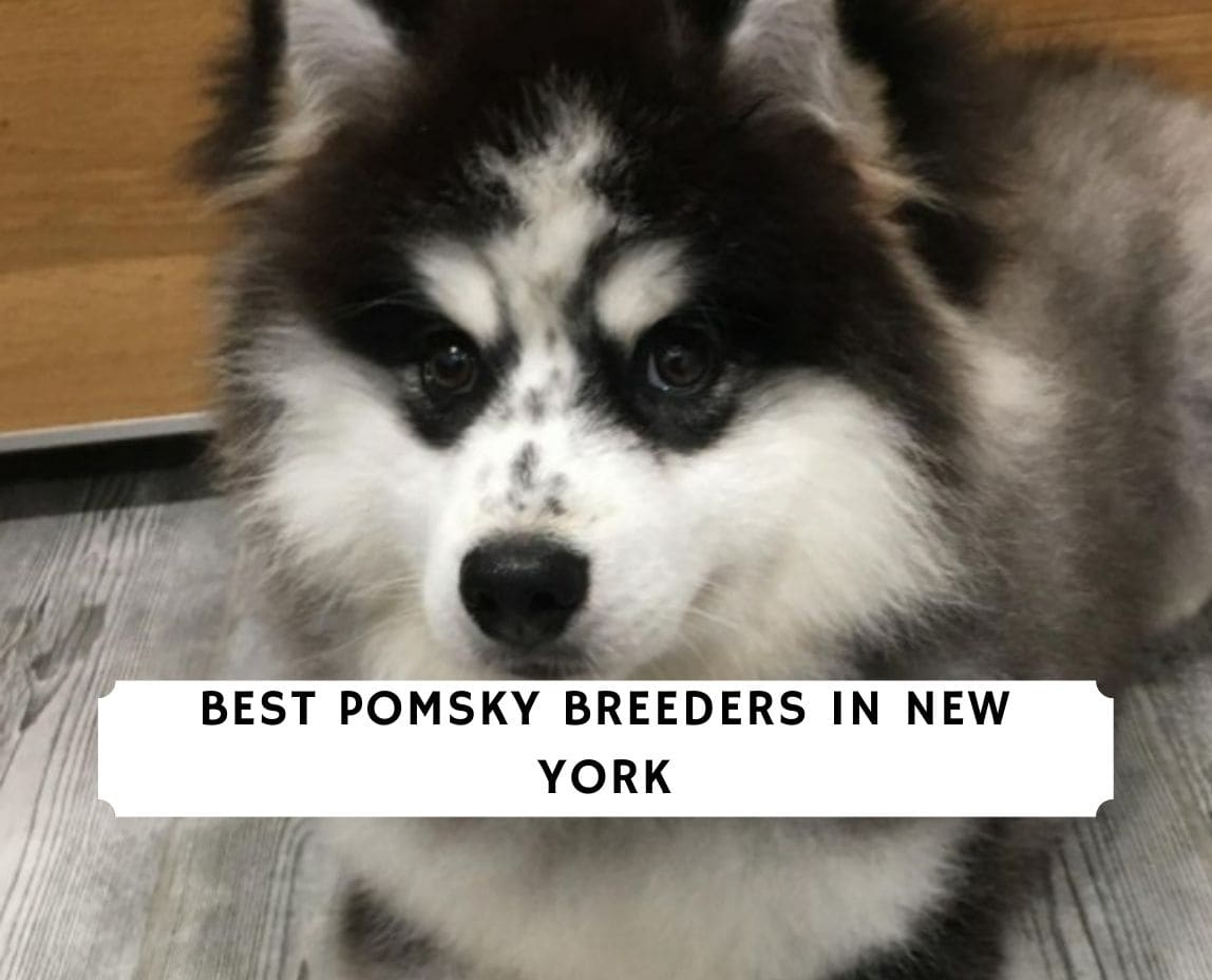 Pomsky Breeders in New York
