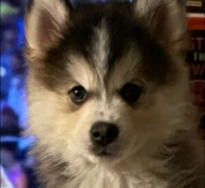 Pomsky Puppies For Sale in Pennsylvania