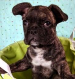 Preferred Puppies French Bulldog