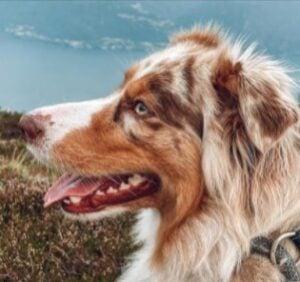 PuppySpot's Australian Shepherds for Minnesota
