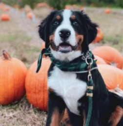 PuppySpot's Bernese Mountain Dogs For New York