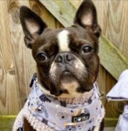 PuppySpot's Boston Terriers for Colorado