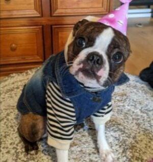 PuppySpot's Boston Terriers for Ohio