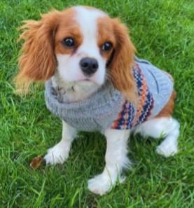 PuppySpot's Cavalier King Charles Spaniel Puppies For Florida