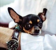 PuppySpot's Chihuahuas for Minnesota