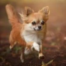 PuppySpot's Chihuahuas for Ohio