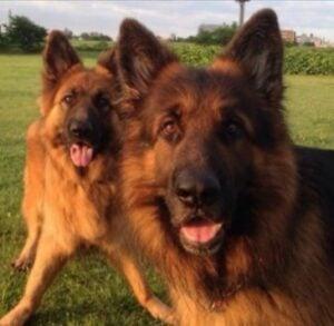 PuppySpot's German Shepherds for Michigan