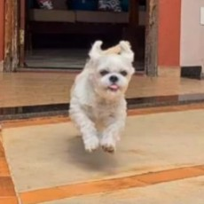 PuppySpot's Shih Tzus for New Jersey