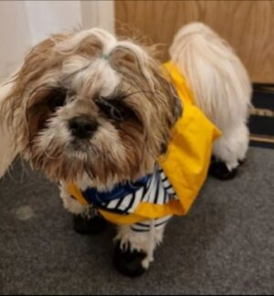 Recognizing a Reputable Shih Tzu Breeder in New Jersey