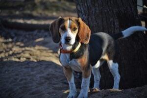 River Bottom Beagles