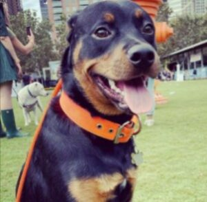 Rottweiler Puppies For Sale in Minnesota