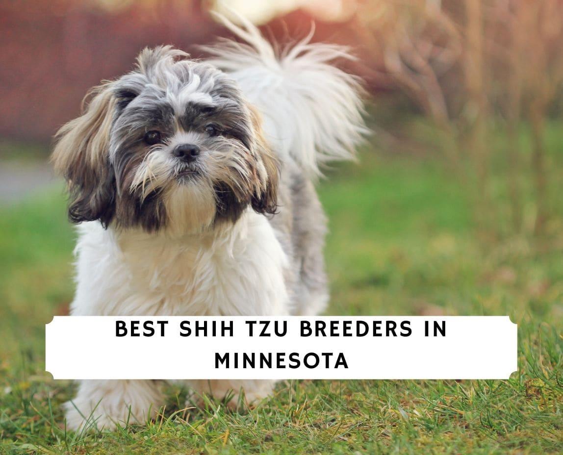 Shih Tzu Breeders in Minnesota