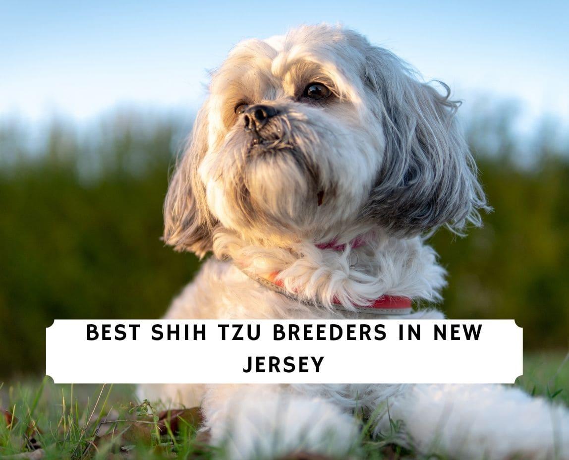 Shih Tzu Breeders in New Jersey