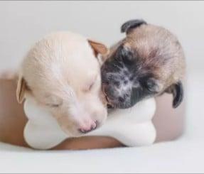 Sunrise Pups French Bulldog