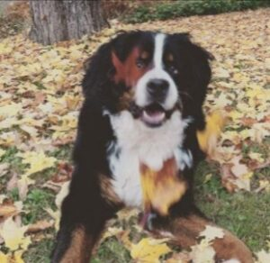 Things to Consider When Looking for a Bernese Mountain Dog Breeder in Florida