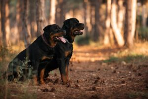 Why Do Dogs/Rottweilers Shed?