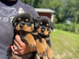 Windego Rottweilers