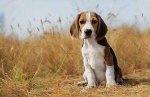 Woodland Beagles