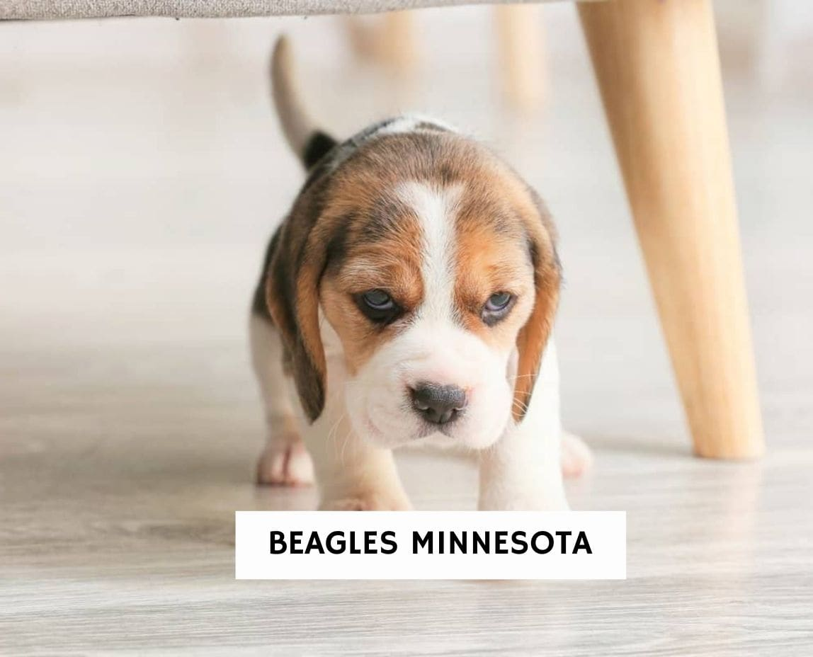 Beagles Minnesota