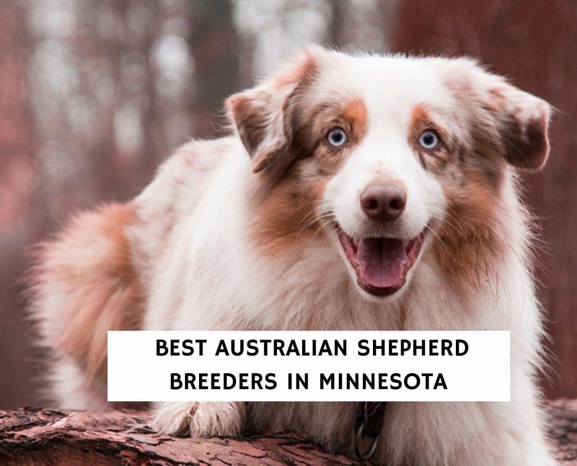 Best Australian Shepherd Breeders in Minnesota