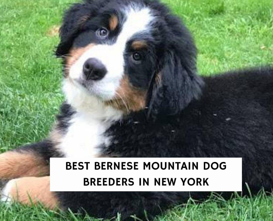 Best Bernese Mountain Dog Breeders in New York