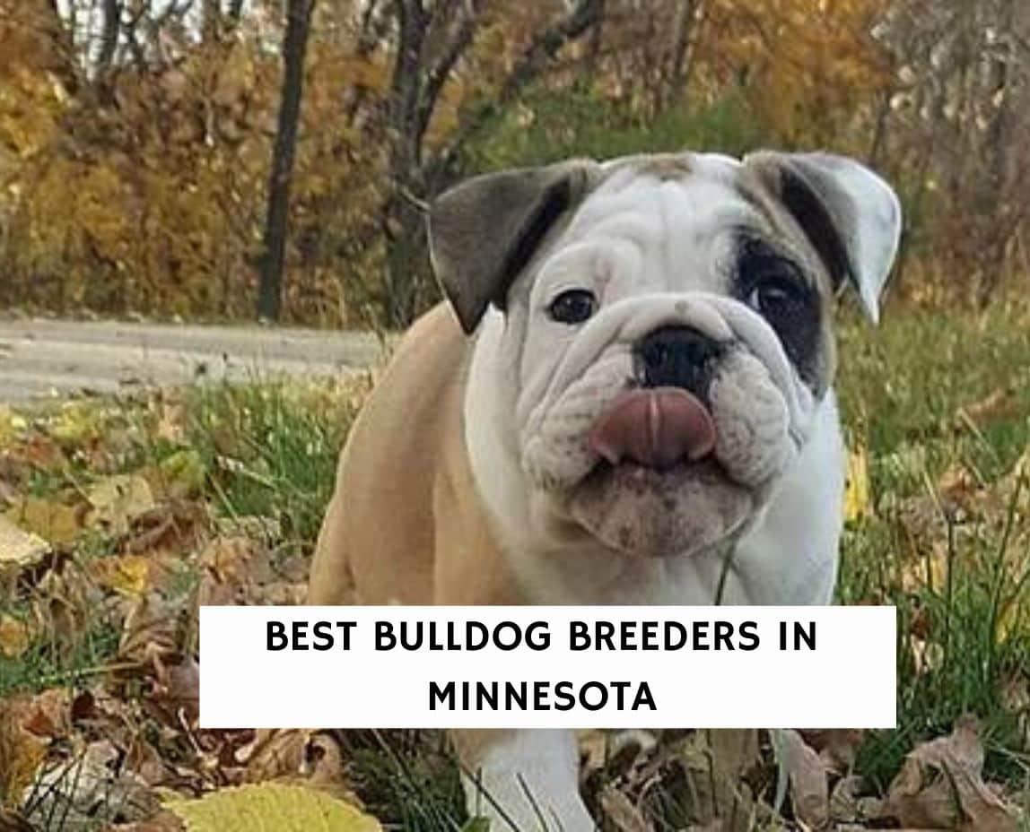 Best Bulldog Breeders in Minnesota