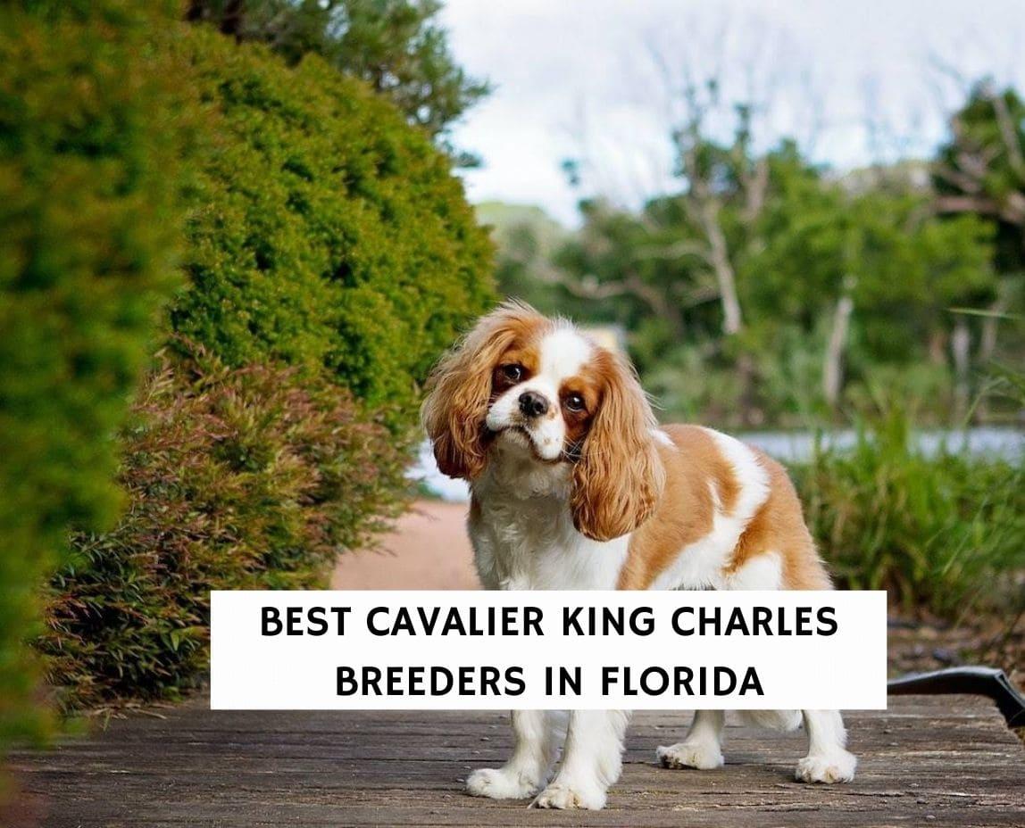 Best Cavalier King Charles Breeders in Florida