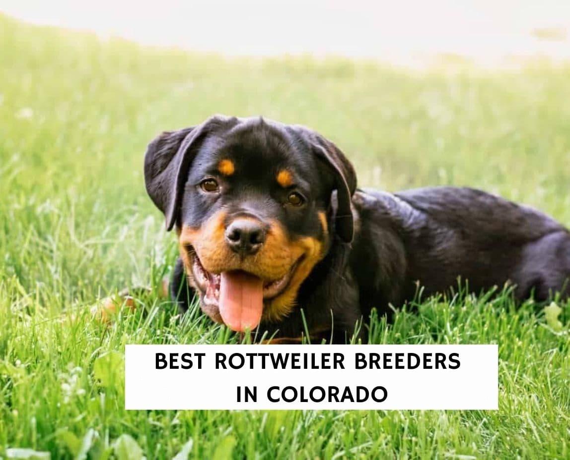 Best Rottweiler Breeders in Colorado