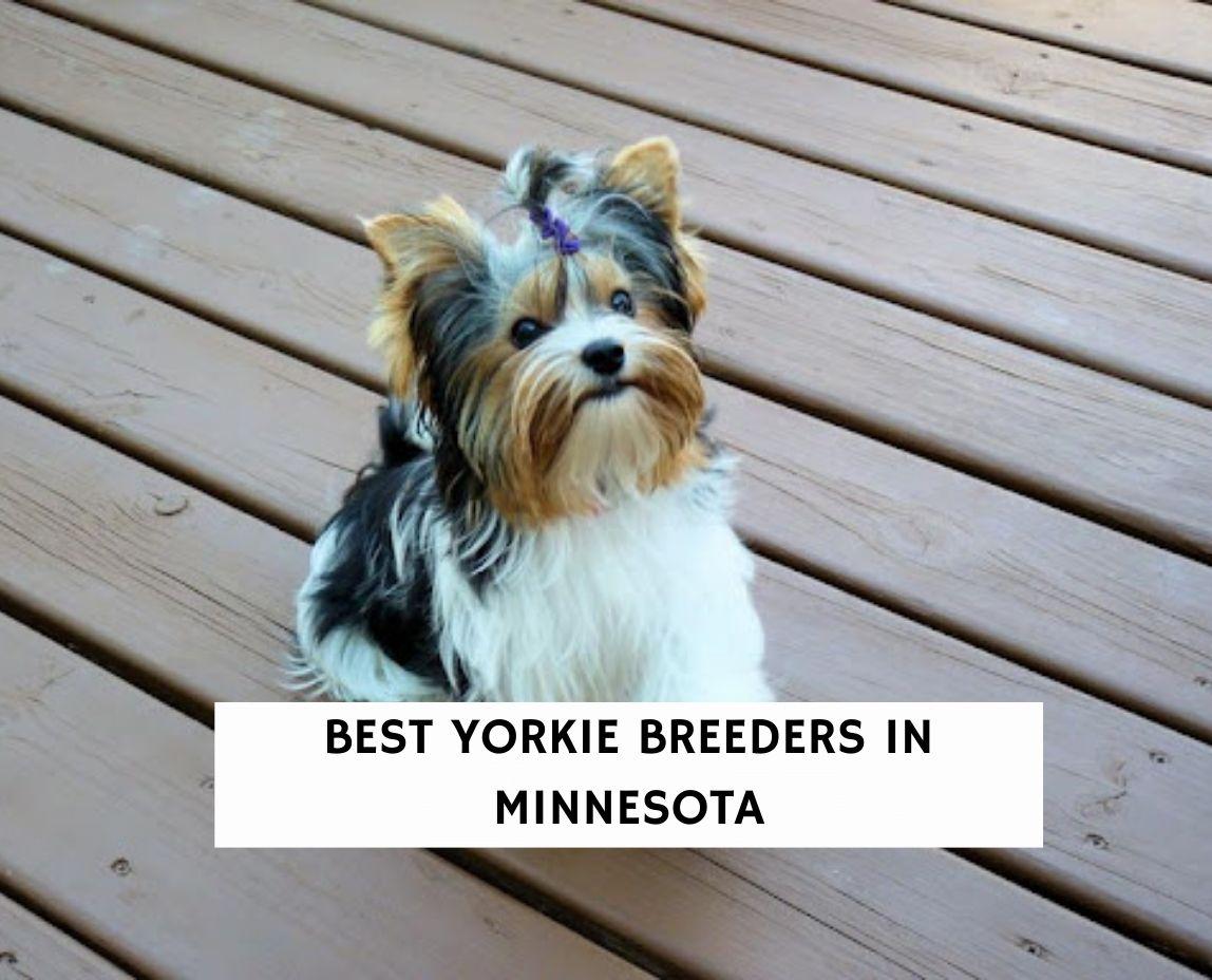 Best Yorkie Breeders In Minnesota