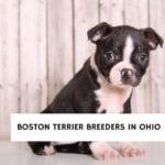 Boston Terrier Breeders in Ohio