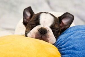 Boston terrier puppy sleep