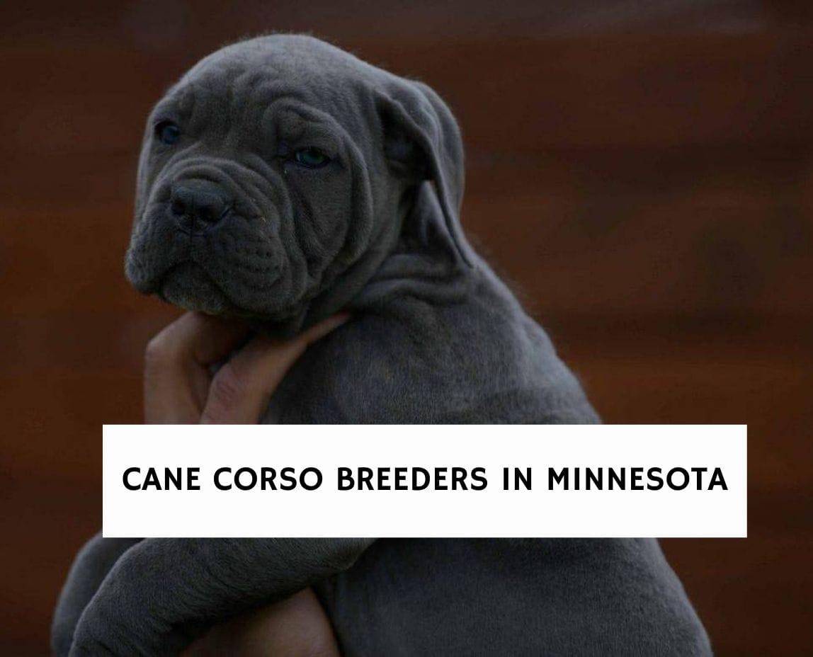 Cane Corso Breeders in Minnesota