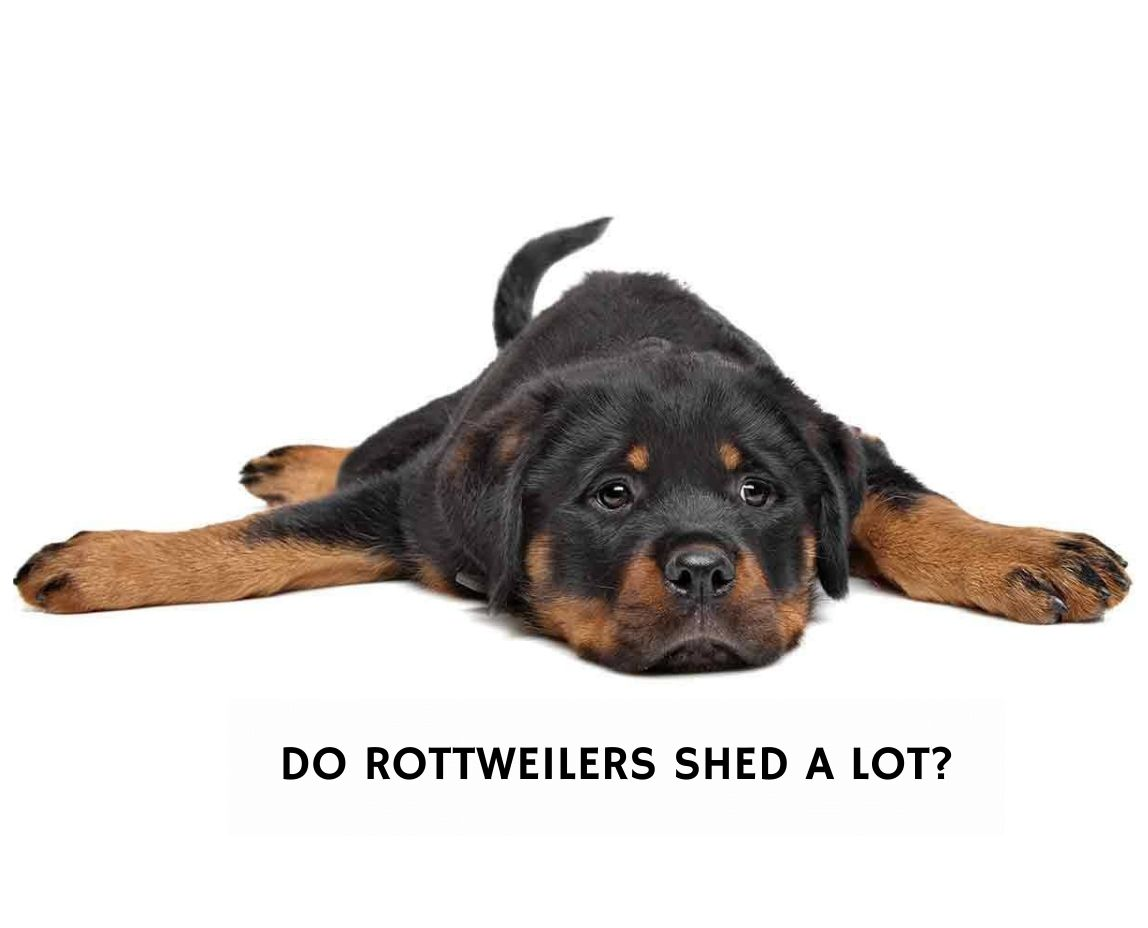 Do Rottweilers Shed A Lot?