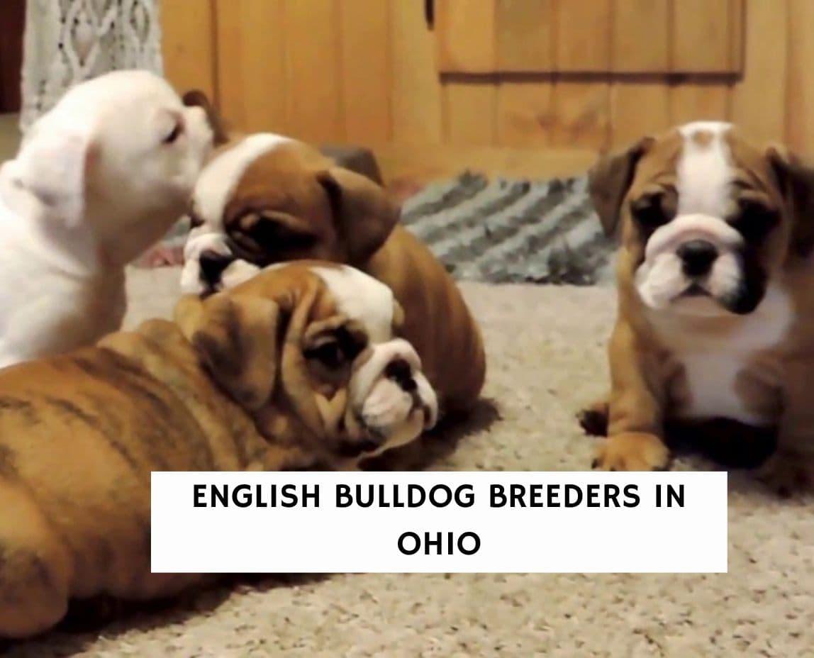 English Bulldog Breeders In Ohio