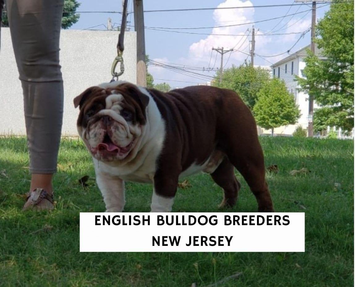 English Bulldog Breeders New Jersey