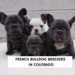 French Bulldog Breeders in Colorado