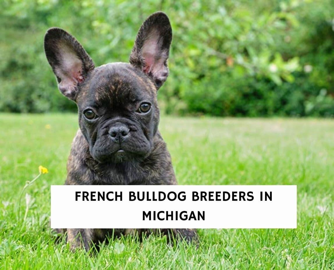 French Bulldog Breeders in Michigan